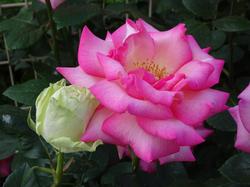Rosefes19_2.png